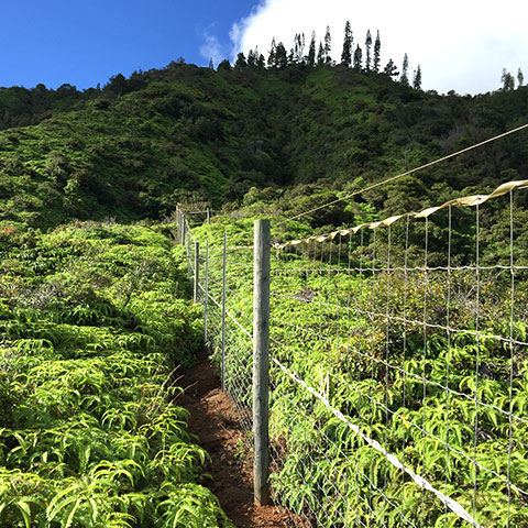 Field of green plants with a short silver wire fence running through it with mountain in background